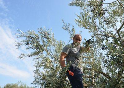 raccolta olive 2