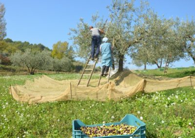 raccolta olive 3