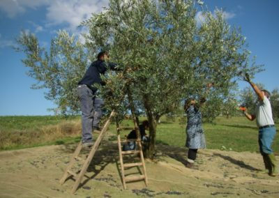 raccolta olive 4