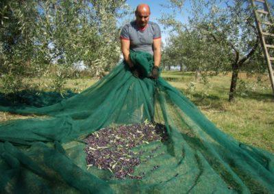 raccolta olive 5